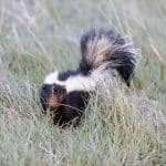 Hawaii Department Of Agriculture: Live Skunk Captured