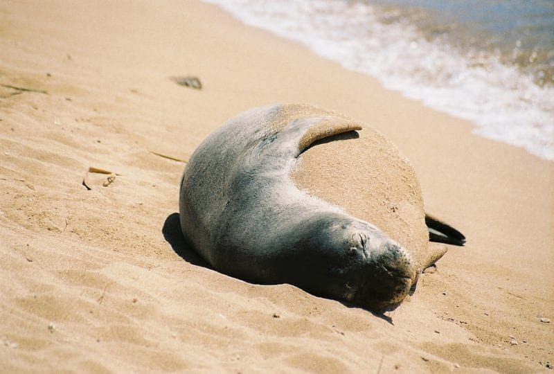 Hawaii DLNR: Two Hawaiian Monk Seals Likely Drowned In Lay Nets
